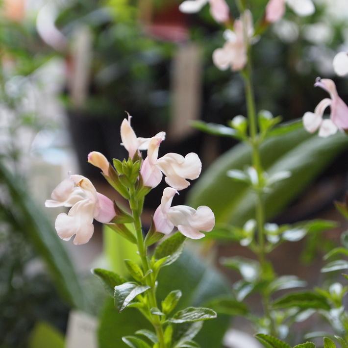 夏用の寄せ植え向きのお花①_a0292194_2048528.jpg