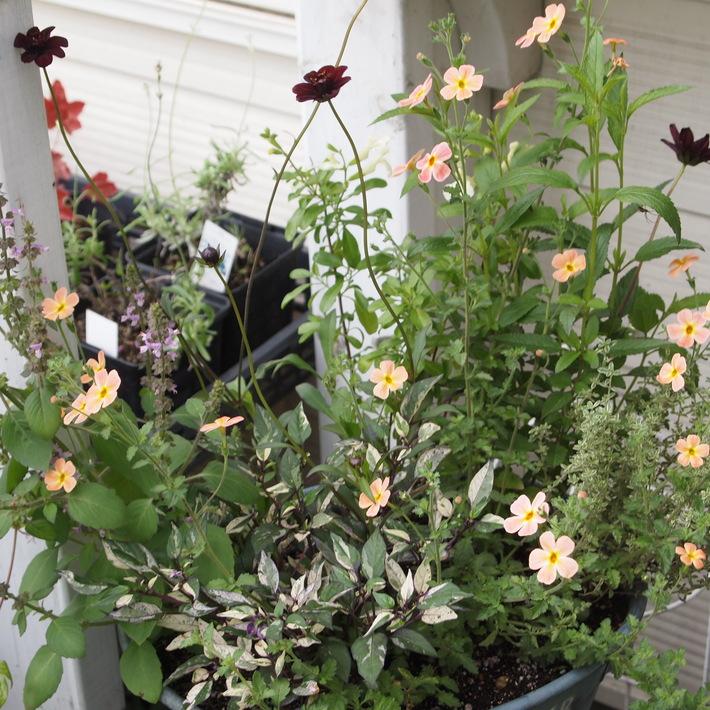 夏用の寄せ植え向きのお花①_a0292194_20552214.jpg