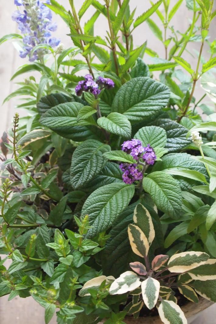 夏用の寄せ植え向きのお花①_a0292194_212475.jpg