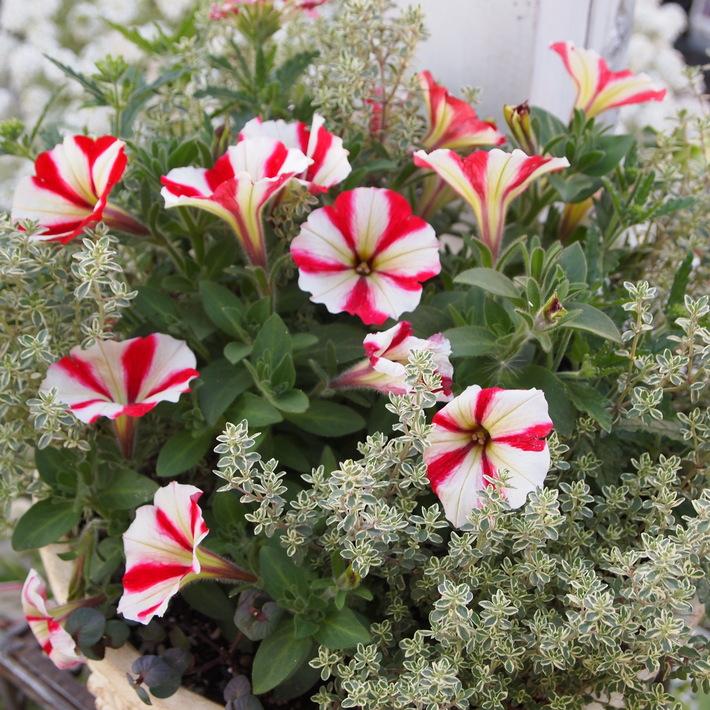 夏用の寄せ植え向きのお花①_a0292194_2152368.jpg