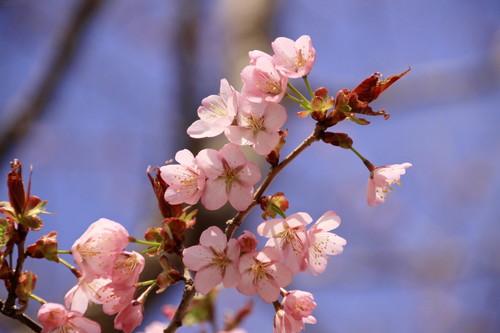 サクラ咲く  5月15日_f0113639_18302442.jpg