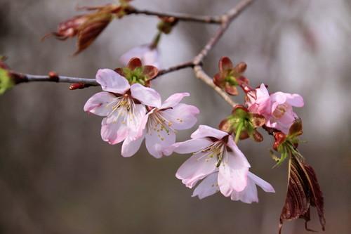 サクラ咲く  5月15日_f0113639_1830288.jpg