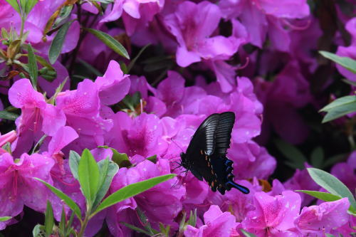 春の裏高尾・チョウ観察会参加♪_d0285540_05441281.jpg