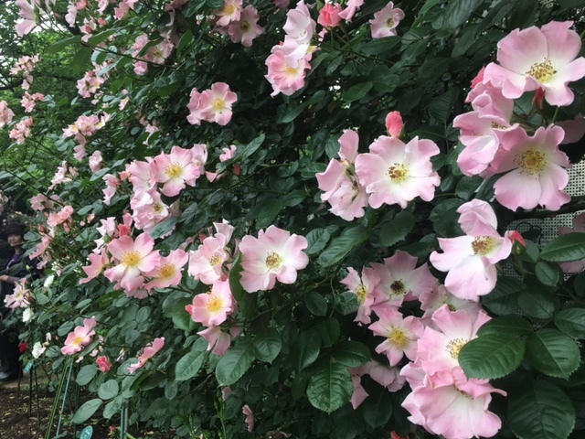 2017年5月月例会&バラお花見会_a0094959_01044510.jpg