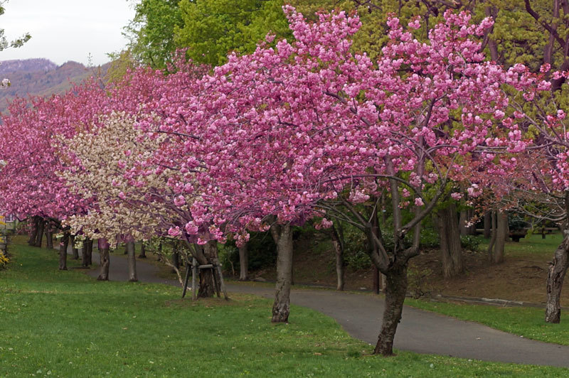 八重桜_d0162994_12555345.jpg