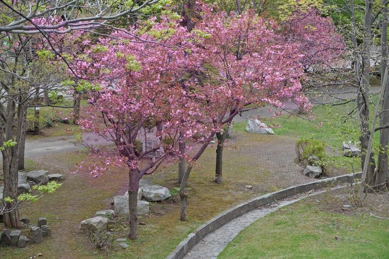 八重桜_d0162994_12561812.jpg