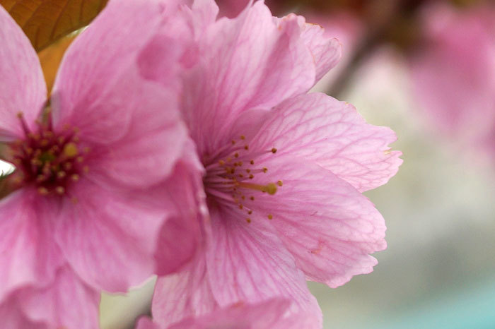 八重桜_d0162994_12571355.jpg