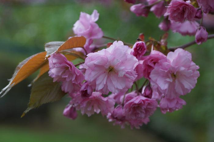 八重桜_d0162994_12574119.jpg