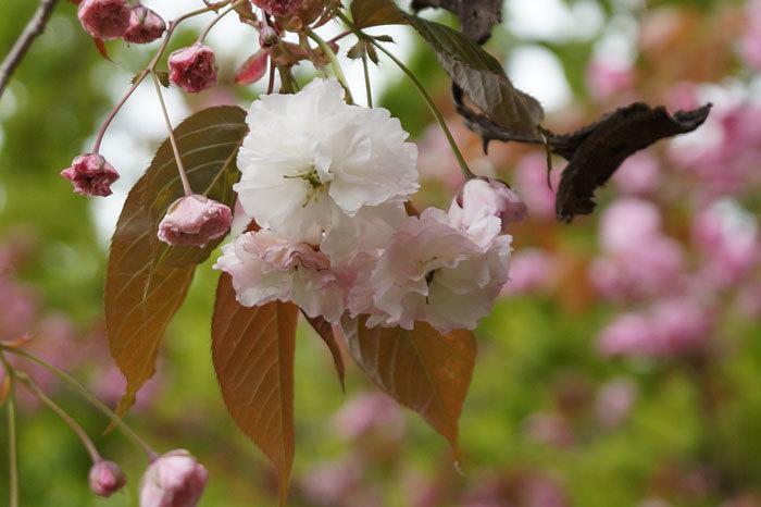 八重桜_d0162994_12581344.jpg