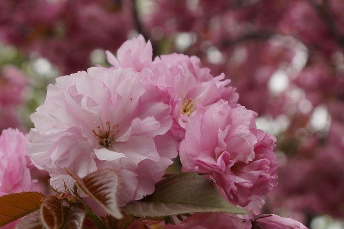八重桜_d0162994_12584341.jpg