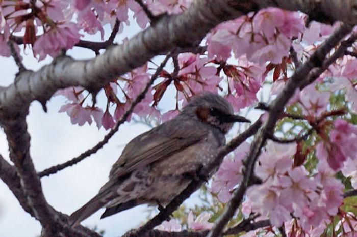八重桜_d0162994_13020477.jpg