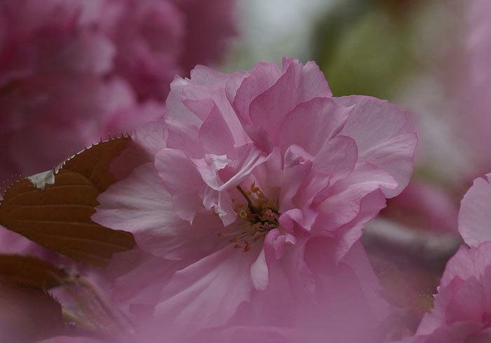 八重桜_d0162994_15081225.jpg