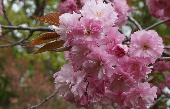 八重桜_d0162994_15193744.jpg