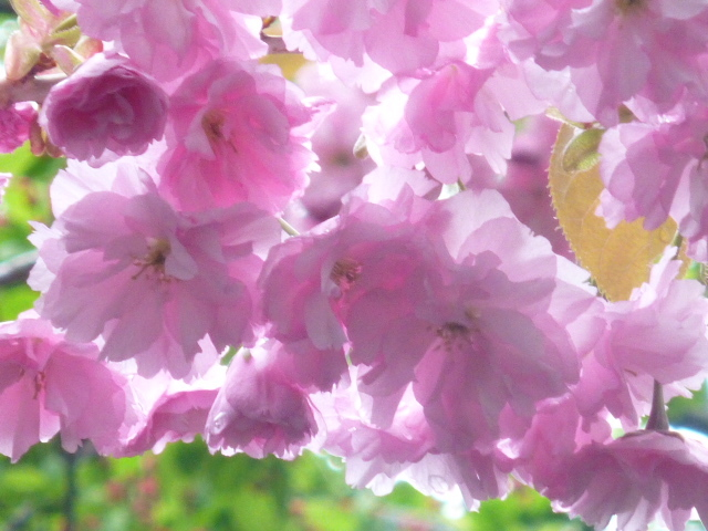 今日の八重桜_b0198109_20375802.jpg