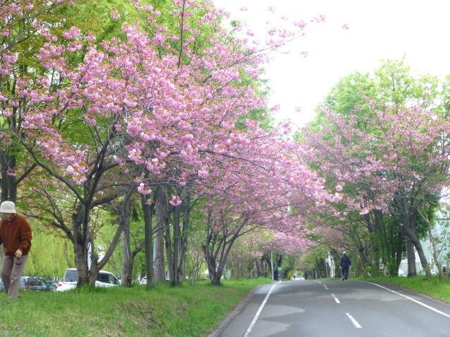 今日の八重桜_b0198109_20390193.jpg