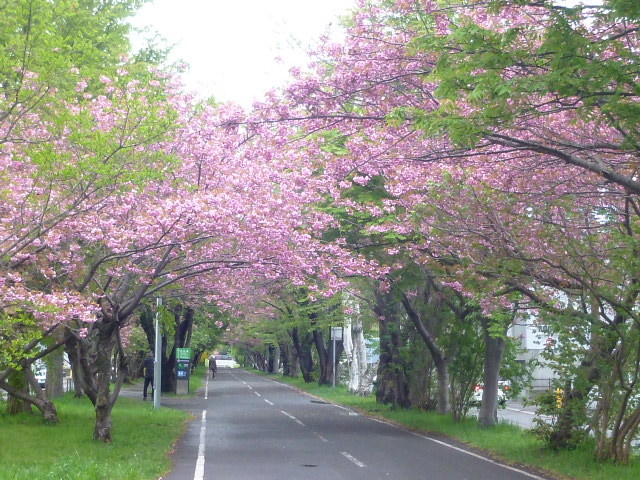 今日の八重桜_b0198109_20392534.jpg
