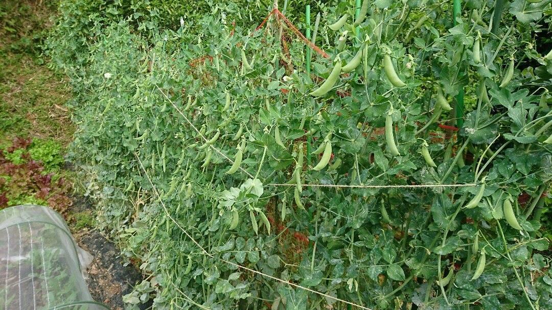 野いちごジャム作り、有機醤油入荷&今朝の畑。_a0125419_11473537.jpg