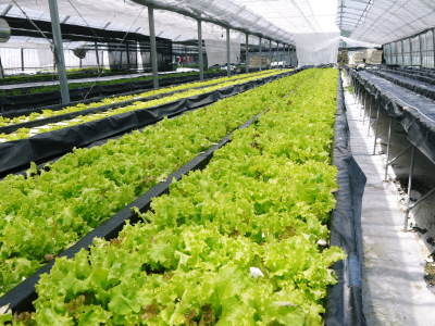 水耕栽培の朝採り新鮮野菜 フレッシュバジルの販売に向けて!_a0254656_17332652.jpg