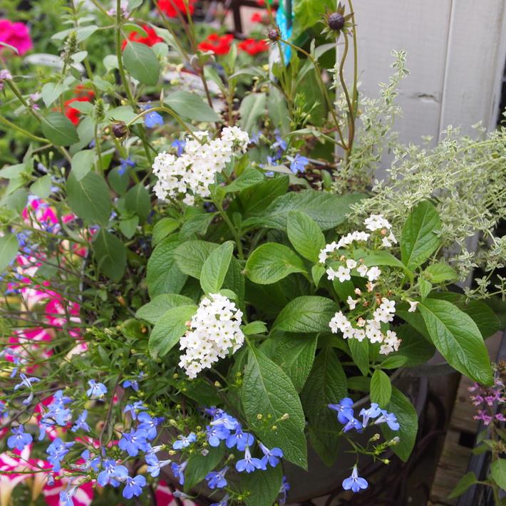 夏用の寄せ植え向きのお花①_a0292194_0245127.jpg