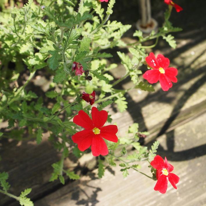 夏用の寄せ植え向きのお花②_a0292194_20265965.jpg