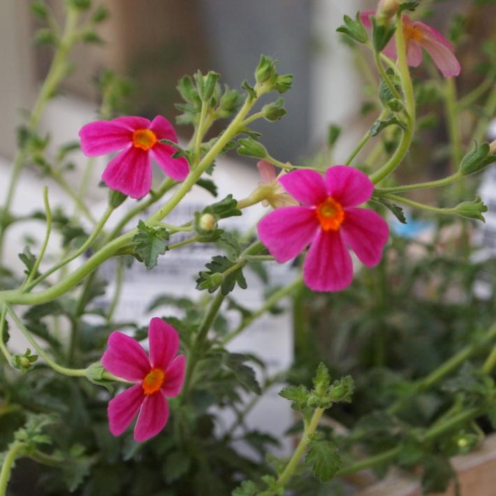 夏用の寄せ植え向きのお花②_a0292194_20295294.jpg