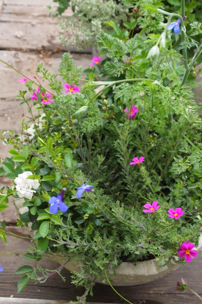 夏用の寄せ植え向きのお花②_a0292194_20331997.jpg