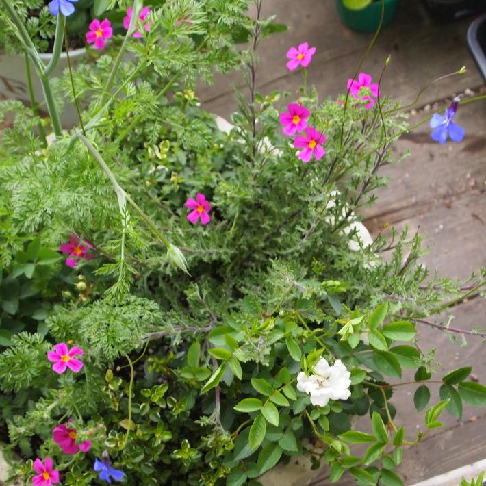 夏用の寄せ植え向きのお花②_a0292194_20334854.jpg