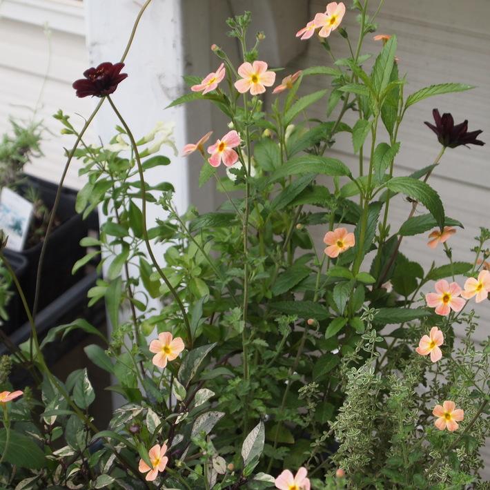 夏用の寄せ植え向きのお花②_a0292194_20344525.jpg