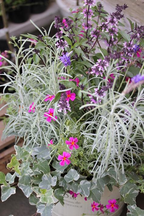 夏用の寄せ植え向きのお花②_a0292194_2131477.jpg