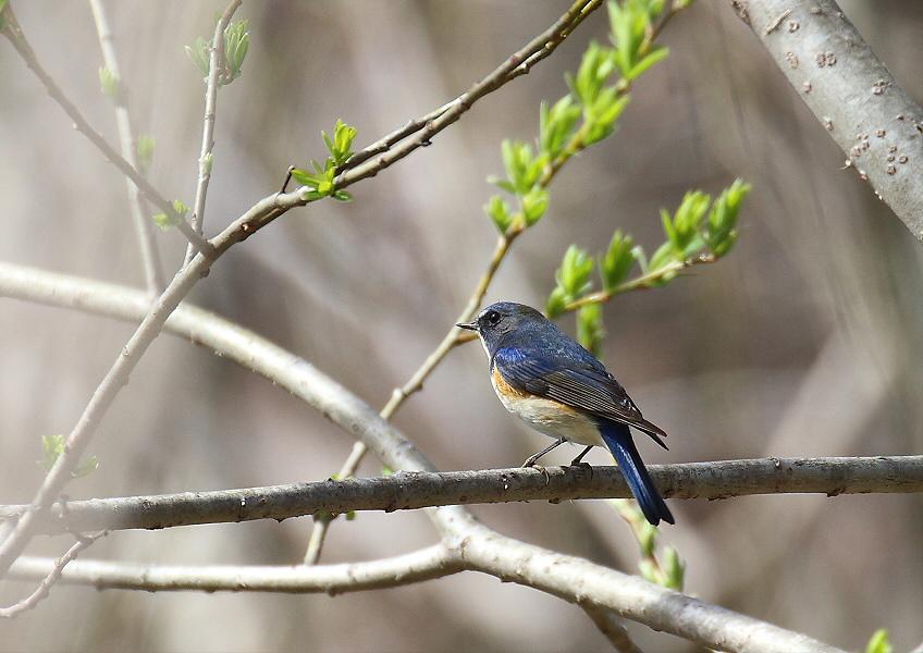 ほんの一瞬・・青い鳥_c0113597_1253991.jpg