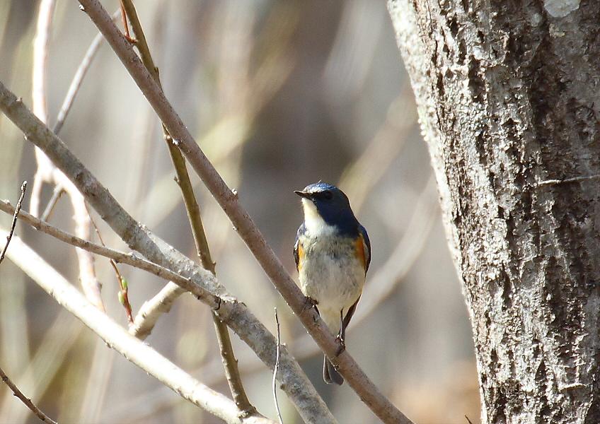 ほんの一瞬・・青い鳥_c0113597_1254327.jpg