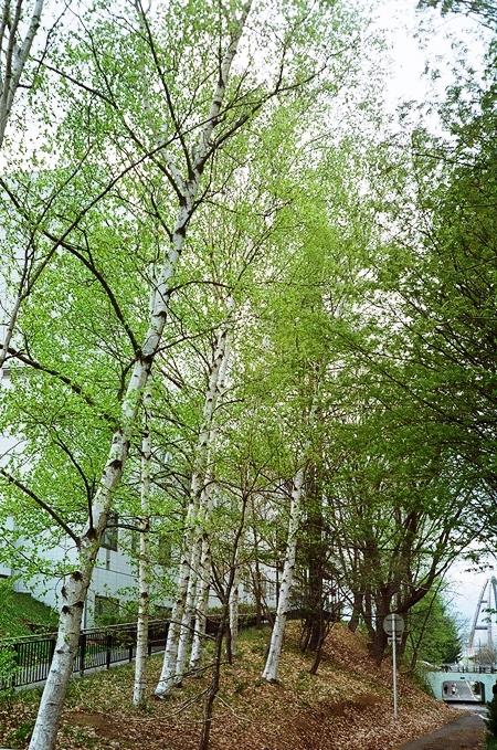 Agfa Optima で撮った白樺の緑と川柳の緑_c0182775_1756497.jpg