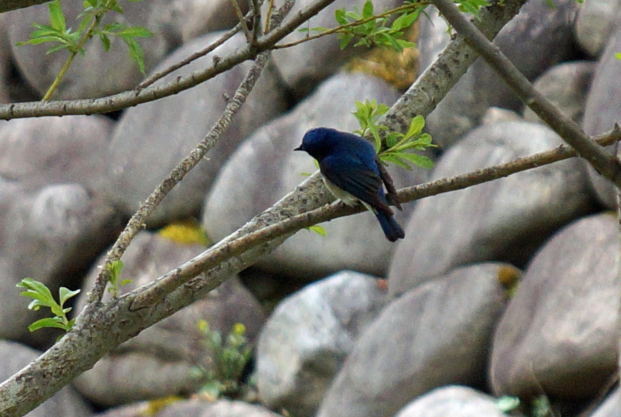 野鳥・オオルリ_d0162994_08240985.jpg
