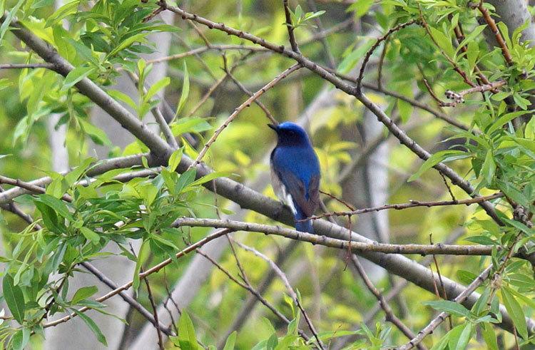 野鳥・オオルリ_d0162994_08260298.jpg