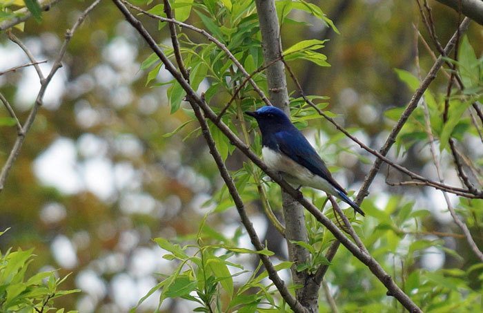 野鳥・オオルリ_d0162994_08262551.jpg