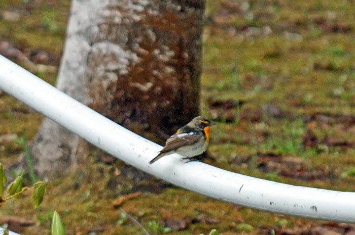 野鳥・オオルリ_d0162994_09053636.jpg