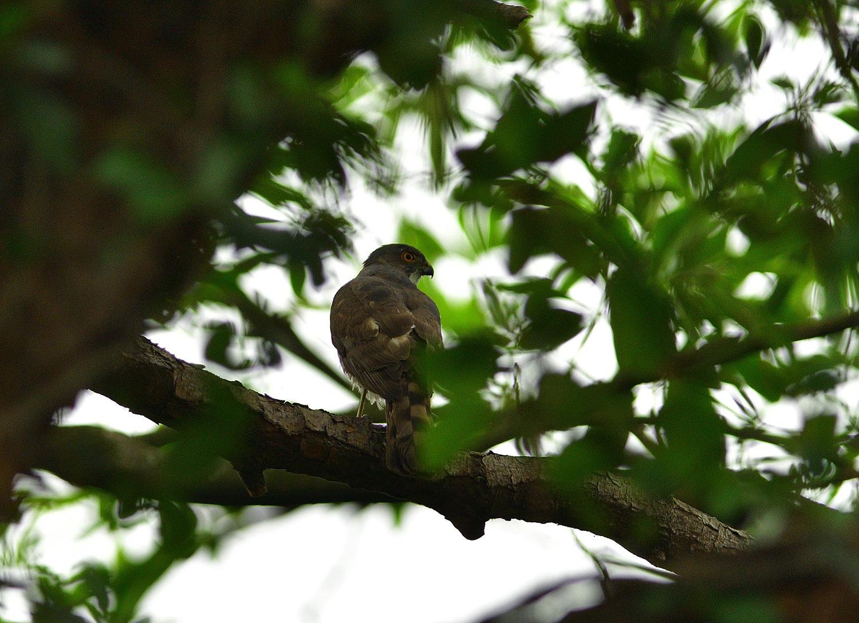 タイワンオオタカ 台湾台北市探鳥紀 ⑤_e0362696_15370402.jpg