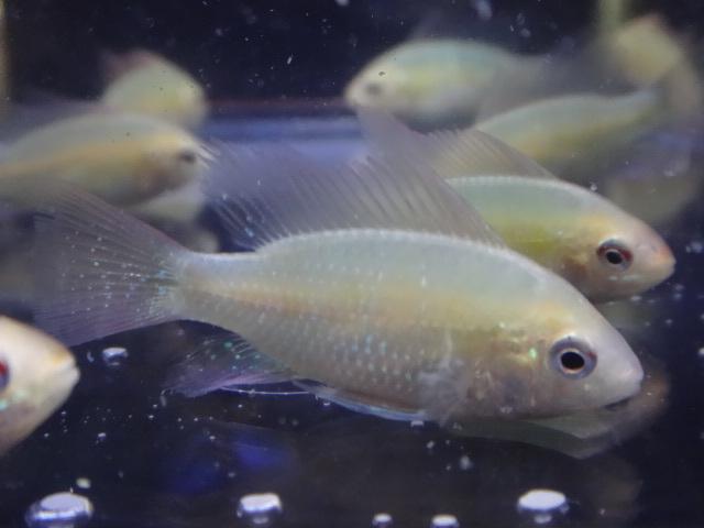 170518 熱帯魚・メダカ・金魚・水草_f0189122_12544847.jpg