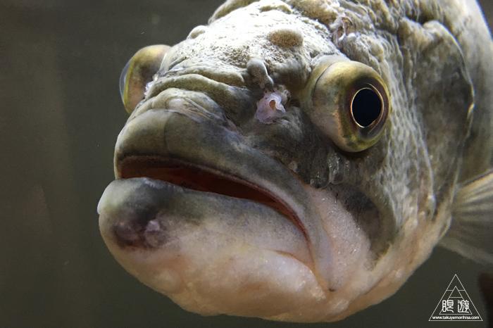 559 宍道湖自然館ゴビウス ~カワヤツメがみれた~_c0211532_12471066.jpg