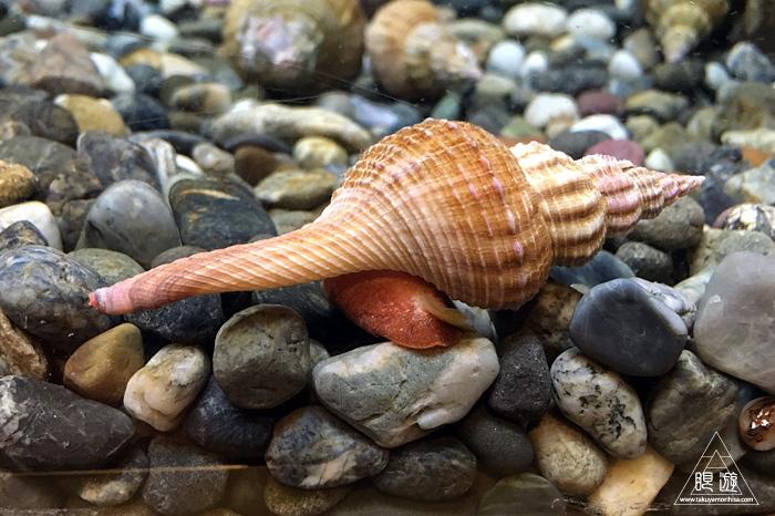 559 宍道湖自然館ゴビウス ~カワヤツメがみれた~_c0211532_12471075.jpg