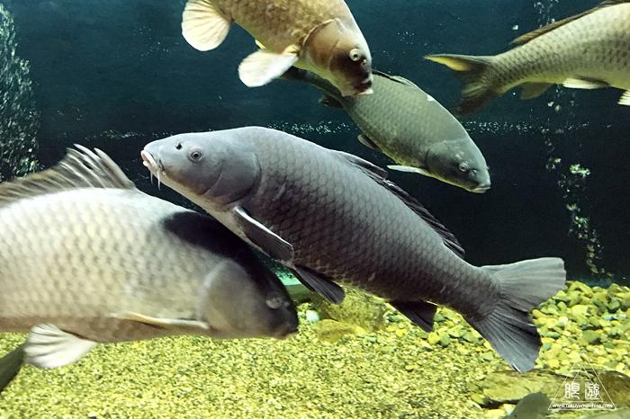 559 宍道湖自然館ゴビウス ~カワヤツメがみれた~_c0211532_13272919.jpg