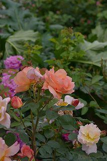 絵美さんが撮した薔薇ツアー・・・2017年5月16日の記録・・_b0137969_05592545.jpg