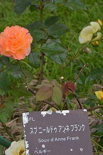 絵美さんが撮した薔薇ツアー・・・2017年5月16日の記録・・_b0137969_06282728.jpg