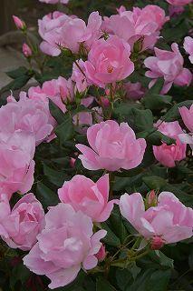 絵美さんが撮した薔薇ツアー・・・2017年5月16日の記録・・_b0137969_06290171.jpg