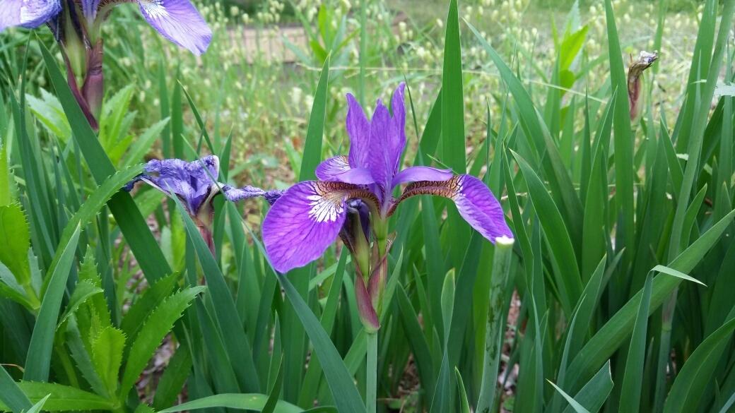今日の花言葉はアヤメ_e0232277_17184941.jpg