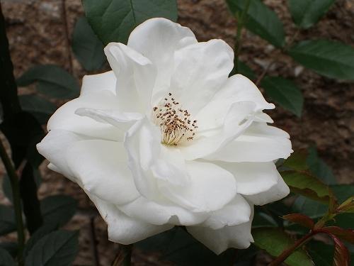 純白のシュネービッチェン(アイスバーグ)_e0289203_16491014.jpg