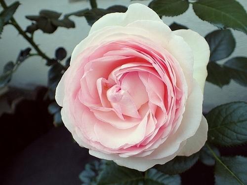 「ピエール・ドゥ・ロンサール」と「レオナルド・ダ・ヴィンチ」が開花_e0289203_16494350.jpg