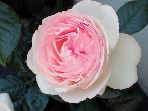 「ピエール・ドゥ・ロンサール」と「レオナルド・ダ・ヴィンチ」が開花_e0289203_16494636.jpg