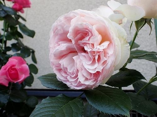 「ピエール・ドゥ・ロンサール」と「レオナルド・ダ・ヴィンチ」が開花_e0289203_16494979.jpg