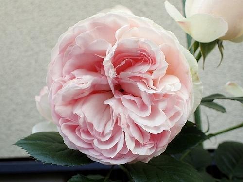 「ピエール・ドゥ・ロンサール」と「レオナルド・ダ・ヴィンチ」が開花_e0289203_16495281.jpg